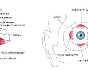 Muscle de l'œil