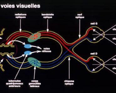 La voie conduction optique