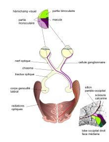 Hémianopsie