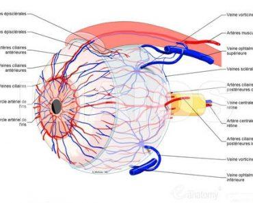 Les vaisseaux ciliaires
