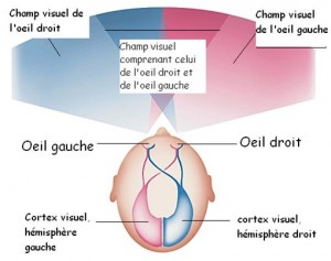 Le champ visuel