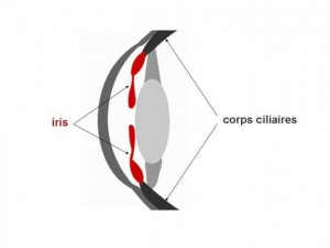 Le corps ciliaires