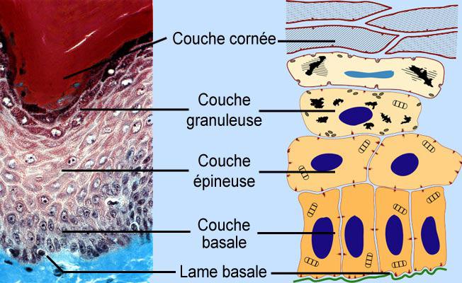 Couches de la cornée