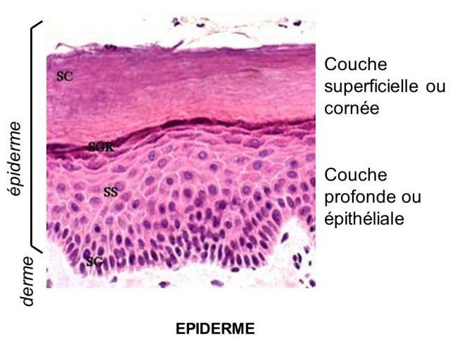 Les couches superficielles de la cornée