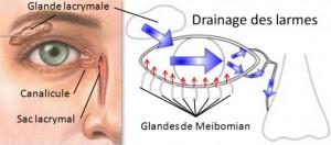 Les glandes lacrymales