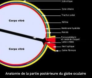 Anatomie de la partie postérieure du globe oculaire