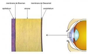 La membrane de Bowman