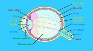 Le globe oculaire