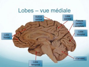 Lobe occipital