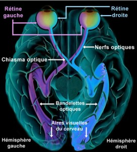 Les nerfs optiques