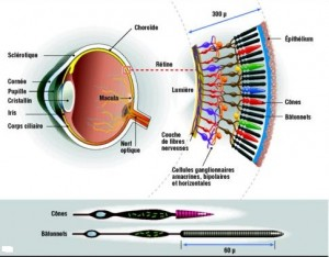 Cyanose et ischémie de la rétine - Ophtalmologie