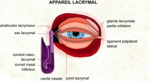Le canalicule lacrymal inférieur