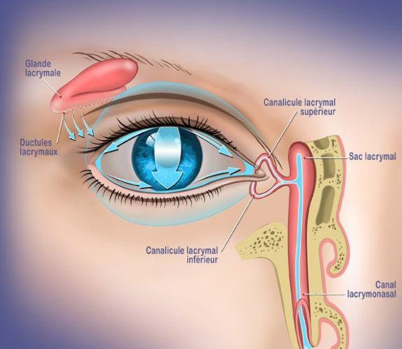 La glande lacrymale