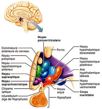 Centre hypothalamique