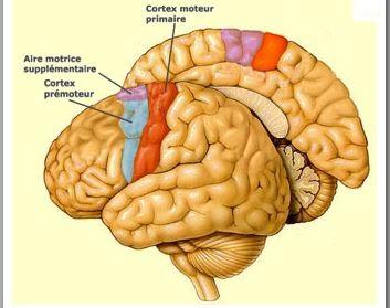 Les centres corticaux