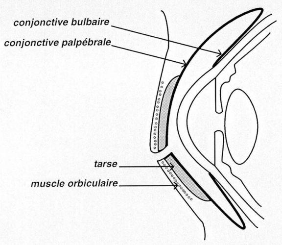La conjonctive palpébrale