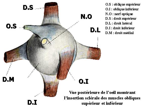Insertion sclérale des muscles obliques