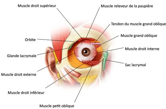 Le muscle- droit supérieur et inférieur