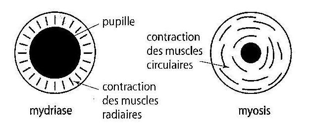 Mydriase et myosis