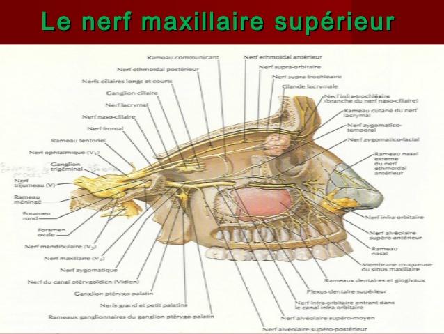 Le nerf maxillaire supérieur
