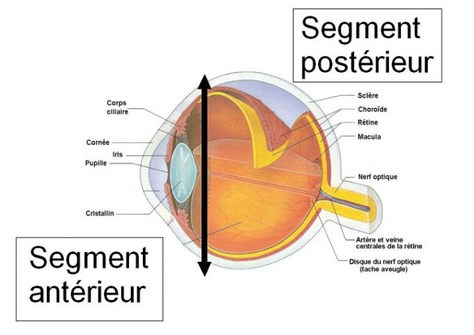Le segment antérieur de l'œil
