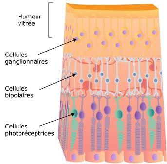 Les cellules ganglionnaires de la rétine