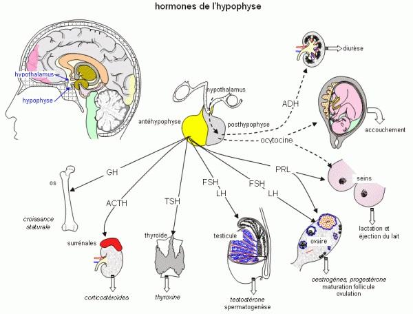 Schéma de l'hormone hypophysaire